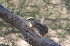 Harrisii d'Ammospermophilus d'écureuil d'antilope de ` de Harris Image stock