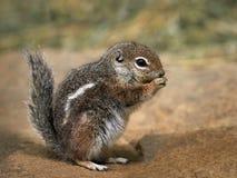 Harrisii d'Ammospermophilus d'écureuil d'antilope de Harris Photographie stock