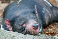 Harrisii do Sarcophilus do diabo tasmaniano imagens de stock
