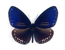 Harrisii do silvester de Euploea (macho) Imagem de Stock