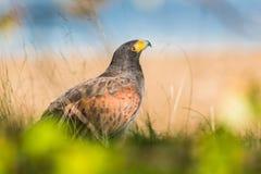 Harriss Falke, der aufwärts schaut Stockfotos