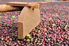 Harrow and fresh robusta coffee beans. Harrow is very important tool for coffee farmers stock photo