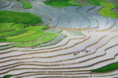 Harrowing de gebieden alvorens rijst te planten. Stock Foto's