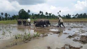 Harrowing using animals in sri lanka stock photography