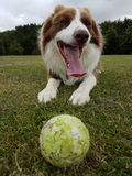 Harry the border collie royalty free stock photos