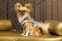 Harry-Chihuahuahund lizenzfreie stockfotografie