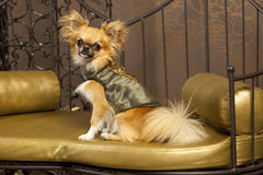 Harry Chihuauhua dog in a clothes. Harry Chihuauhua dog in a fashion clothes Royalty Free Stock Image