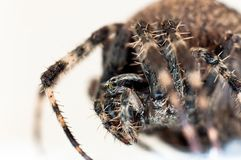 Harry cross spider Royalty Free Stock Photo