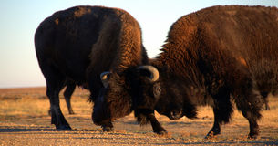 Harry and Martin. Two wild bison butting heads in the South Dakota dawn Stock Image