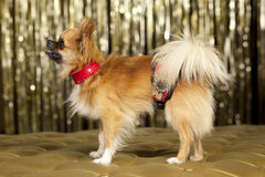 Harry small dog. Harry small Chiuaua dog on golden couch Royalty Free Stock Photos