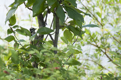 Harry Woodpecker. In a green leaf tree at Reflections Lake Palmer Hay Flats Game Refuge Wasilla Alaska during spring and summer Royalty Free Stock Image