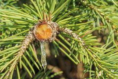 Harsdruppels van de tak van een naaldboom royalty-vrije stock afbeelding
