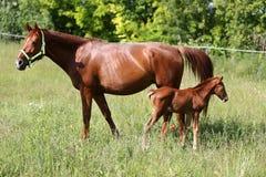 Harse家庭在牧场地一起吃草 库存图片