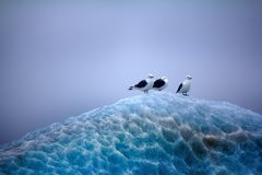 Kittiwakes sitting on top of lace ice Stock Photos