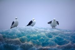 Kittiwakes sitting on top of lace ice Stock Image