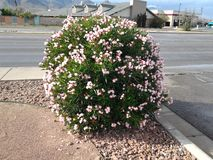 Harsh weather pink bush. It's almost winter but this bush is still fully bloomed and pretty stock photo