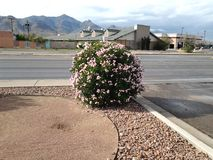 Harsh weather pink bush. It's almost winter but this bush is still fully bloomed and pretty Stock Images