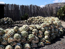 The hart from Agave plant to make Mescal or Mezcal. Mezcal, a distilled alcoholic beverage made from agave plant,  native to Mexico. The name Mezcal means `oven Royalty Free Stock Photos
