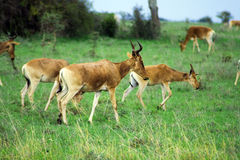 Hart Beast. A herd of Hart Beast at the Nairobi National Park Stock Images