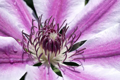 Hart of a clematis Nelly Moser flower stock photo