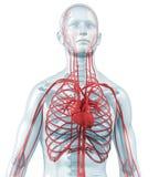 Hart en cardiovasculaire van de bloedsomloop royalty-vrije illustratie