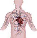 Hart en menselijk vasculair systeem vector illustratie