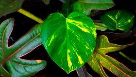 Hart gevormd blad in de tuin Royalty-vrije Stock Foto