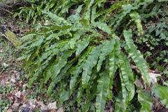 Hart`s Tongue Fern. Asplenium scolopendrium Bank of ferns royalty free stock photo