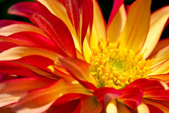 Hart van een rode/gele dahliabloem als close-up Stock Afbeeldingen