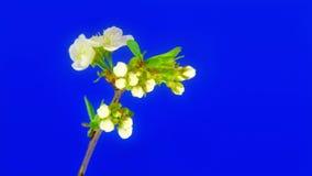 Hart van kersenbloemen FullHD