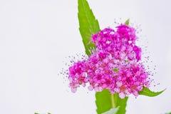 Hart-vormige roze bloeiwijze Stock Afbeeldingen