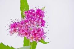 Hart-vormige roze Viburnum-tinus Royalty-vrije Stock Afbeelding