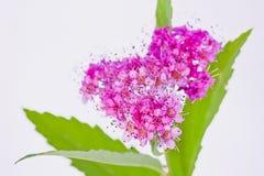 Hart-vormige Viburnum-bloeiwijze Stock Foto's
