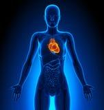 Hart - Vrouwelijke Organen - Menselijke Anatomie stock illustratie