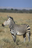 Hartamnn mountain zebra Stock Photography