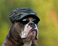 Harte Armeebulldogge Stockfotos