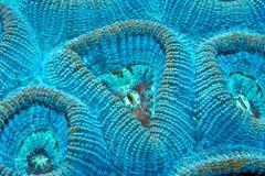 Harte Koralle Stockfotografie