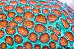 Harte Koralle Stockbild