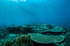 Harte Platte korallenrotes Acropora hyacinthus in Gorontalo, Indonesien-Unterwasserfoto Lizenzfreie Stockfotos