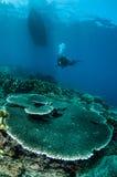 Harte Platte korallenrotes Acropora hyacinthus in Gorontalo, Indonesien-Unterwasserfoto Lizenzfreie Stockfotografie