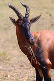 Hartebeest羚羊-徒步旅行队肯尼亚 库存图片