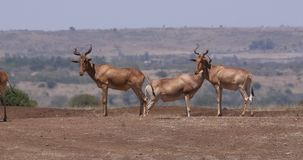 Hartebeest,狷羚buselaphus,在大草原,内罗毕公园的牧群身分在肯尼亚,实时 影视素材