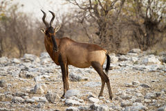 Hartebeest Stock Photography