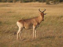 Hartebeest Stock Image