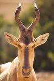 Hartebeest in Addo Elephant National Park, Zuid-Afrika royalty-vrije stock afbeelding