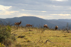 Hartebeest in africa Stock Image