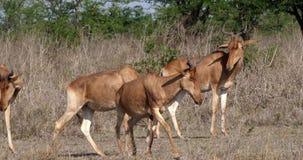 Hartebeest, alcelaphus buselaphus, Adult and Calf standing in Savanna, Masai Mara Park, Kenya,. Real Time 4K stock video