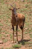 Hartebeest Alcelaphus buselaphus, also known as kongoni Stock Photos