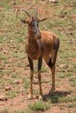 Hartebeest Alcelaphus buselaphus, także znać jako kongoni Zdjęcia Stock