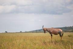 Hartebeest (antílope) no parque nacional de Maasai Mara (Kenya) Fotos de Stock Royalty Free